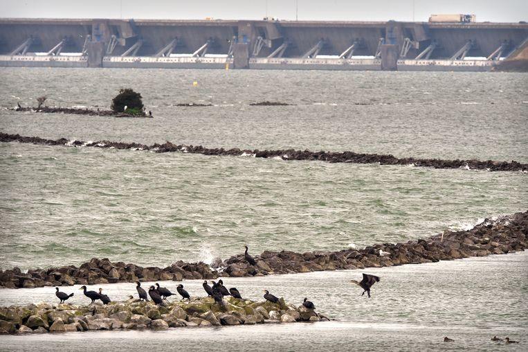 Aalscholvers wachten op hun visje in de Haringvliet net na de Haringvlietdam. Beeld null