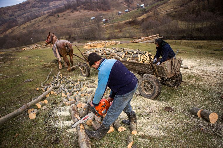 Een stel hamstert hout voor de winter.  Beeld Julius Schrank