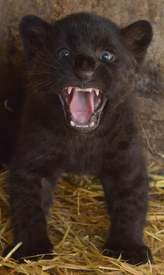 Zwarte jaguarwelp in BestZOO