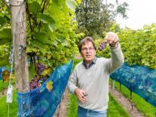 Druivenoogst Zeister wijngaard boven verwachting: 'Als dit geen topwijn wordt...'