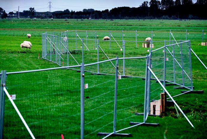 Hekken staan sinds vorige week midden in de polder bij Oud-Alblas. Ze moeten koeien en schapen tegenhouden als Rijkswaterstaat er aan het werk gaat.