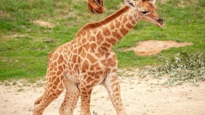 Girafje geboren in Planckendael