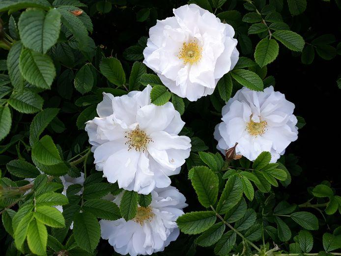 Voor de grote tuin: Rosa rugosa Alba.