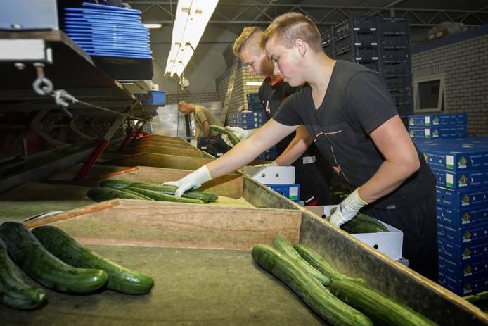 Edwin Evers (vooraan) en Nick de Jong uit Middelbeers sorteren komkommers.