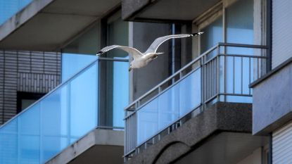Europese primeur: anticonceptiepil voor meeuwen in Blankenberge