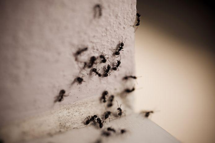 Mieren, foto ter illustratie. Dit zijn geen viervlekmieren.