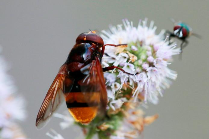 De stadsreus en en de veel kleinere vleesvlieg samen op een bloem.