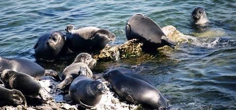 Raadsel rond bijzondere Baikal-zeehonden: al 140 dode dieren