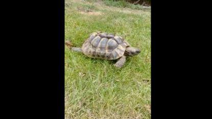 """VIDEO. Politie zoekt eigenaar van schildpad die ze """"na wilde achtervolging hebben kunnen onderscheppen"""""""