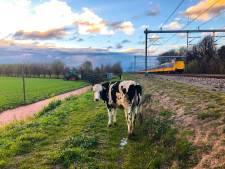 Koe maakt wandeling langs spoor bij De Meern