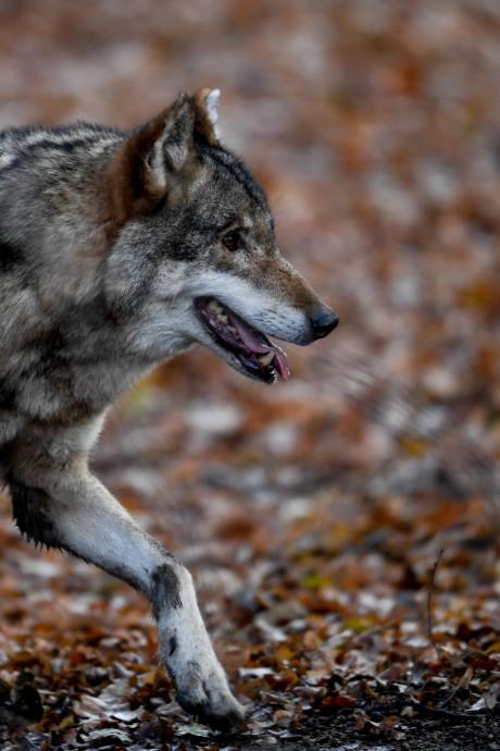 Wolvin op Veluwe heeft mannetje in haar buurt: 'Grote kans op welpjes'