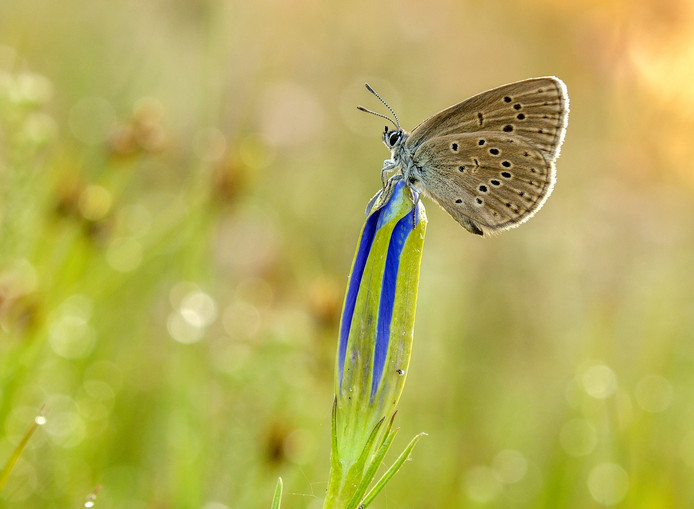 Het gentiaanblauwtje legt haar eitjes alleen op de bloemknoppen van de klokjesgentiaan. Foto Jap Smits.