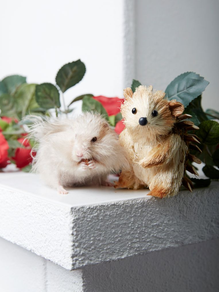 Cammie (2,5 jaar), Siberische hamster, Amsteldorp. Beeld Isabella Rozendaal