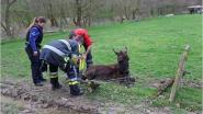 Brandweer bevrijdt ezeltje uit prikkeldraad