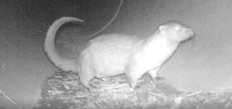 Beschuit met muisjes in de Ooijpolder: voor het eerst in 50 jaar ottertje geboren