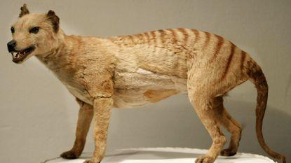 Acht nieuwe waarnemingen van de in 1936 uitgestorven Tasmaanse tijger
