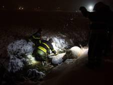 Schapen glijden in ijskoud water; brandweer redt ze uit de sloot