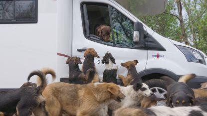 """Brugse labrador keert terug uit Servië (en baasje adopteerde er twee straathondjes): """"Willen zeker terugkeren"""""""