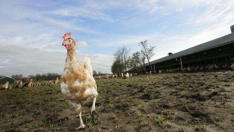 De dreiging van vogelgriep is geweken, kippen mogen weer naar buiten. Beeld ANP