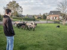 Schapen familie Mennen in Helenaveen gedood: Nederland te klein voor wolf