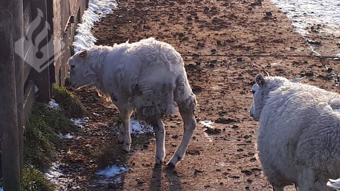 De poot van het schaap bleek verkeerd te staan door een geboren afwijking.