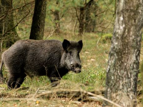 Waarschuwing voor bezoekers van de Veluwe: 'Wie wilde zwijnen voert, geeft ze eigenlijk de kogel'