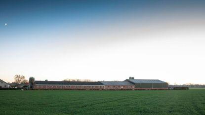 Salomonsoordeel voor landbouwer Jean-Paul Haesen: megakippenstal wordt niet vergund, uitbreiding van naburige varkensstal wel
