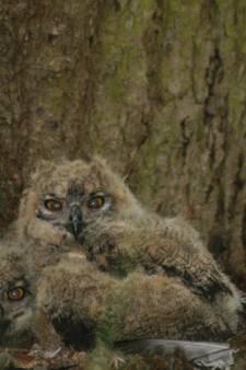 Boswachters Sint Anthonis trots op 'hun' jonge oehoes