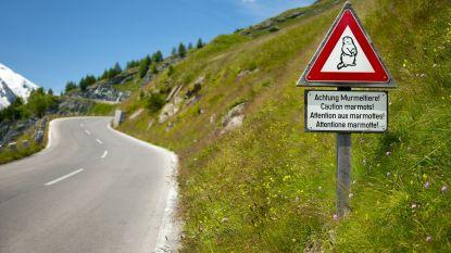 Belgische wielertoerist zwaargewond na aanrijding met marmot in Italië
