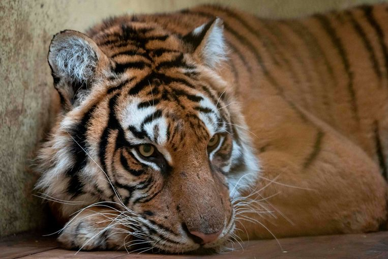 Vrouwelijke tijger Softi.
