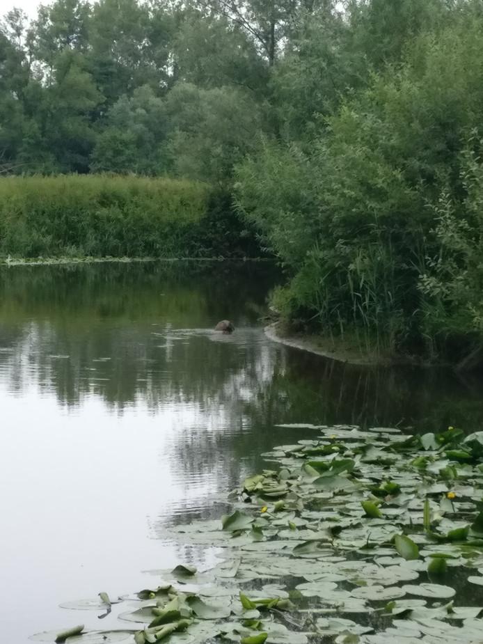 Sjoerd Reverda ontdekte zondag een bever in de Dommel in Eindhoven.