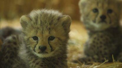Hartverwarmende beelden: Weense zoo toont vier cheetawelpjes