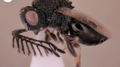 Nieuwe parasitaire wesp boort zichzelf met 'zaag' een weg uit het lichaam van haar gastheer
