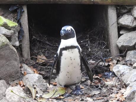 Pinguïn-homokoppel steelt ei in DierenPark Amersfoort