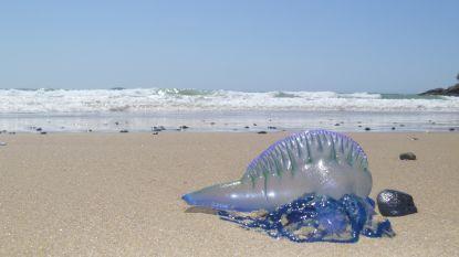 Spaanse kust geteisterd door gevaarlijke kwallen