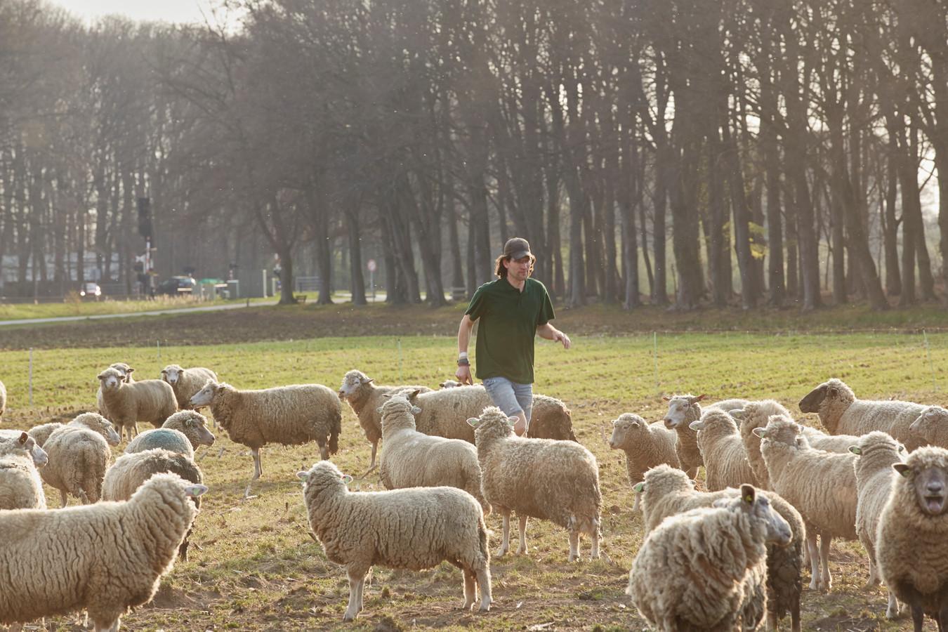Schaapsherder Herbert Nijkamp tussen zijn schapen in Eefde. Vanaf eind april grazen zijn schapen door de woonwijken in Zutphen.