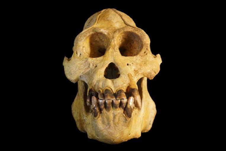 De onderzochte schedel van de nieuwe soort. Beeld