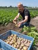 Jan Poppe rooit wat aardappelen.