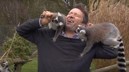 BBC-reporter wordt belaagd door horde lemuren tijdens aankondiging