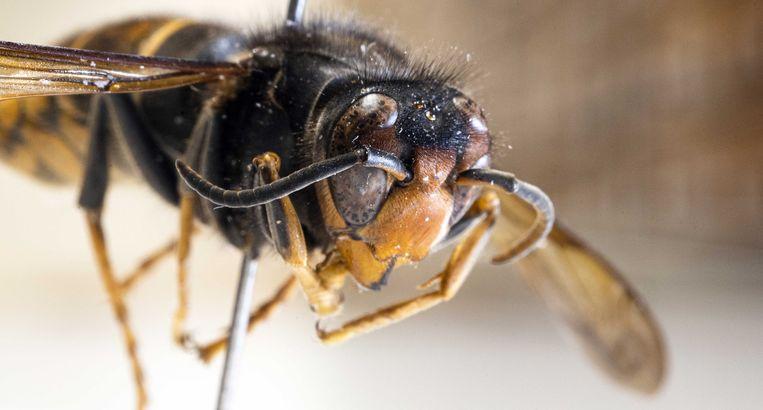 Een opgezette Aziatische hoornaar in Naturalis. De grote zwarte wesp, die van oorsprong uit China komt, is al in drie provincies opgedoken. De Aziatische hoornaar vreet bijen op en kan agressief zijn naar mensen die hem storen.  Beeld ANP