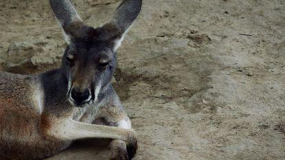 Kangoeroe sterft nadat toeristen hem bekogelden met stenen in Chinese zoo