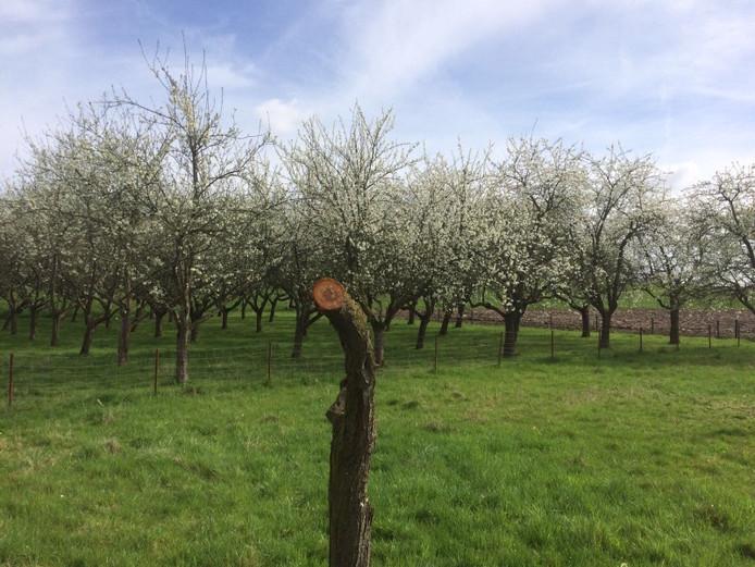 De pruimenboomgaard in het gebied Uilenvlugt in Brakel