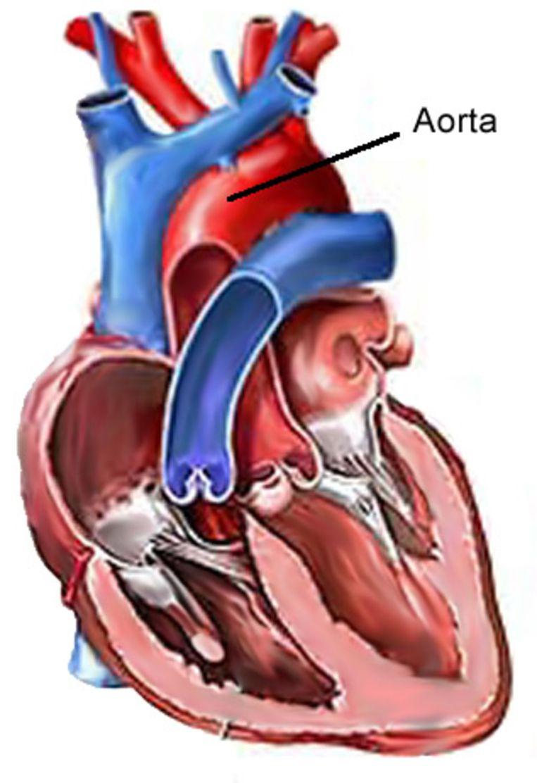 Tekening van een menselijk hart Beeld