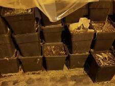 Handhaving komt te laat na melding hennepkwekerij: plantjes al geoogst