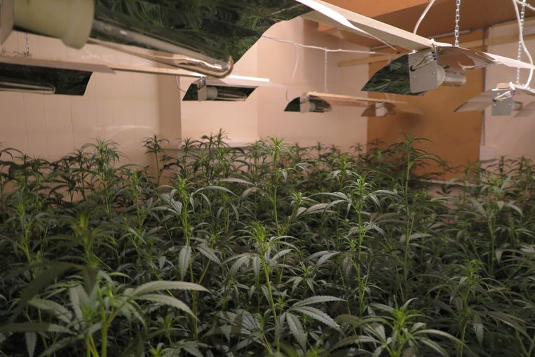 De politie van Lier trof de cannabisplantage aan in een woning langs de Lispersteenweg.