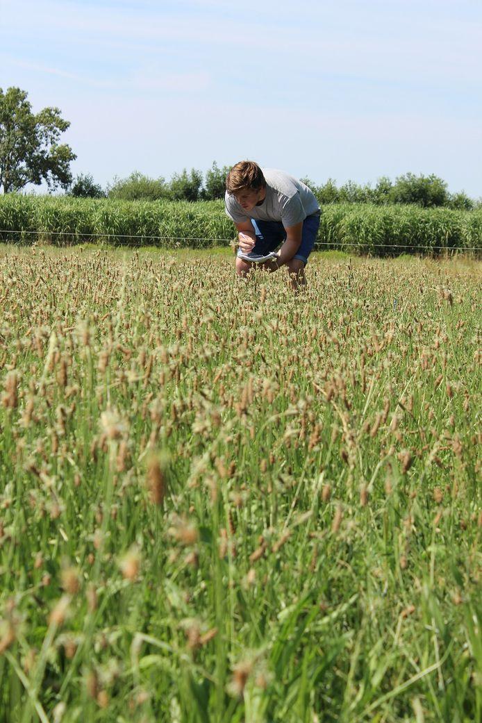 Een onderzoeker van het Louis Bolk Instituut checkt het aantal bijen dat afkomt op de bloeiende weegbree.