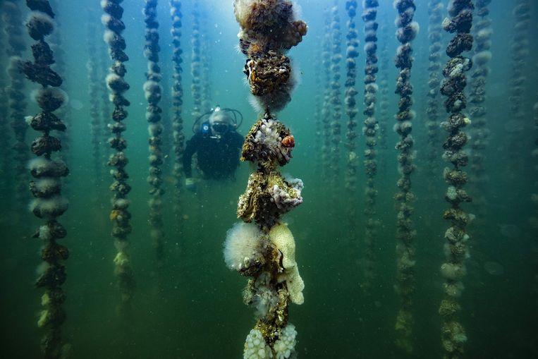 De Fransman Jean-Christophe Cabrol duikt in zee in de buurt van Montpellier om zijn oesters te controleren, die daar in hangcultuur aan het rijpen zijn. Beeld AFP