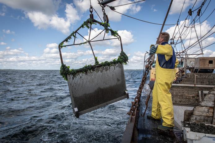 Schipper Nico Boertjes van de YE123 heeft een nieuwe techniek ontwikkeld om zijn oesterpercelen te ontdoen van de oesterboorder.