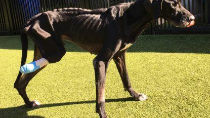 Amerikaans koppel opgepakt dat Deense dog uithongerde. Hond krijgt nu eindelijk zorgen die hij verdient