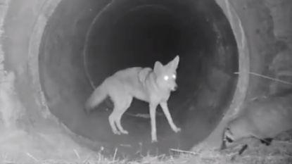 Hartverwarmende vriendschap tussen coyote en zilverdas vastgelegd op video